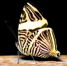 Photographed at the Devonian Botanic Garden, in their Tropical and Sub Tropical Plant and Butterfly Greenhouse.www.devonian.ualberta.ca/ Photograph of a Zebra Mosaic butterfly. PHOTOGRAPH TAKEN BY TERRY ELNISKI