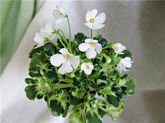 'Lullabye' | (Arndt) White/variable light blue edge. Medium green girl. Miniature.