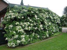 Klätterhortensia Flower Beds, Rum, Pergola, Park, Flowers, Plants, Inspiration, Garten, Biblical Inspiration