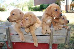 Vizsla Lab Mix Puppy