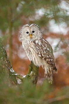 Ural Owl by Milan Zygmunt on 500px