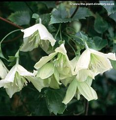 Clematis cirrhosa Ourika Valley  Clematis Ourika Valley is an evergreen with lovely creamy lemon nodding bells and a red speckling inside. Ourika Valley flowers from Nov to Feb for some great winter colour , it can reach heights of around 12 feet and prefers to be in a sunny but...