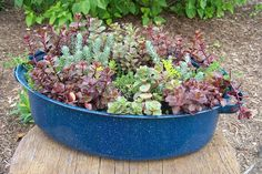 Roaster pan planted with mixed sedums.