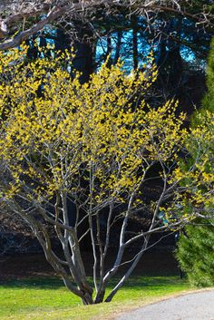 Witch Hazel 'Arnold Promise' standing tall with its showy yellow spring blooms Landscape Design, Garden Design, Yellow Springs, Witch Hazel, Spring Blooms, Gardening, Garden, Plants, Landscape Designs