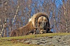 Musk ox - sleepy (Ovibos moschatus) Hjerkinn Kongsvoll Drivdalen, Norway