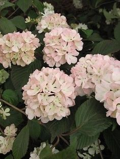 Viburnum-plicatum-Rosalie-japanischer-Schneeball-Rosalie-40-60