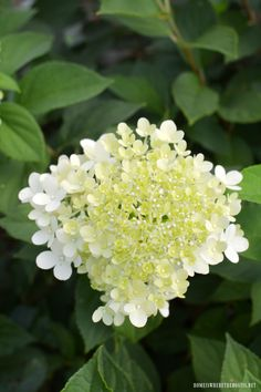 Limelight Hydrangea | homeiswheretheboatis.net #garden #pottingshed