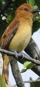 Cinnnamon Attila, Ahila cinnamo-meus, a Tyrant flycatcher: Amazon Basin of Brazil & the Guianas