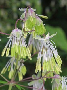 Waxy Meadow Rue (Thalictrum revolutum) male flowers