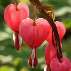 "Bleeding Hearts - The leaves of this plant are fern-like, and the flowers hang from arched branches. Two of the petals of the flower are pink and form the shape of a puff heart, while the other two smaller petals seem to ""bleed"" from the puff."