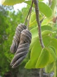 「unusual seed pods」の画像検索結果