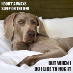 Sounds just like Alphy!  He doesn't always sleep on the bed, but when he does, he hogs the bed and the blankets!!