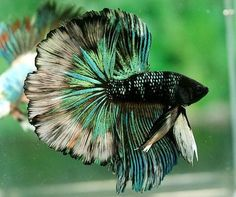 Some interesting betta fish facts. Betta fish are small fresh water fish that are part of the Osphronemidae family. Betta fish come in about 65 species too! Pretty Fish, Cool Fish, Beautiful Fish, Animals Beautiful, Colorful Fish, Tropical Fish, Freshwater Aquarium, Aquarium Fish, Betta Fish Care