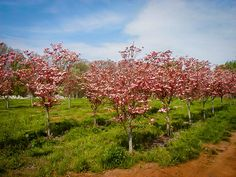 Cherokee Brave Dogwood Tree Dogwood Trees, Trees And Shrubs, Flowering Trees, Trees Online, Pink Blossom, Growing Tree, Small Trees, Spring Garden, Cherokee
