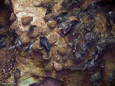 More on Aerodramus: Edible-nest Swiftlets Swiftlet Nest, Borneo, Photo Galleries, Geography, Gallery, Birds, Animals, Black, Animales