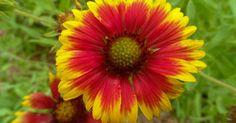 Conoce los cuidados de la Gaillardia ¡Su floración es espectacular!