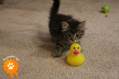 "Runner Up. Clark, adopted from Animal Rescue League of Iowa, Inc. - Des Moines, IA: ""Clark is quacking me up !"""