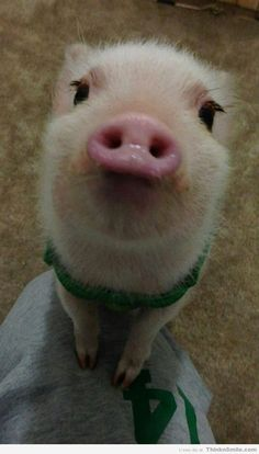 Pigs Can Be Cute Too