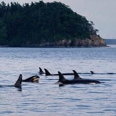 """J Pod tonight in a resting line with little J51 in the foreground right behind J2 Granny, the oldest Southern Resident Orca at an estimated 104 years old…"""