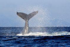 """""""O Grito do Bicho"""": Países que caçam baleias derrubam proposta de prot..."""