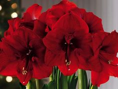 The amaryllis is usually thought of as a one-off winter bulb that makes for a great holiday accent. But with very little care on your part, you can have the grand flower appear year after year.