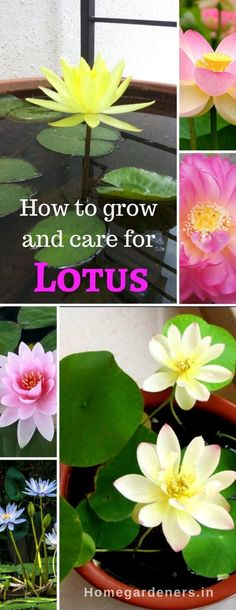 Sacred Lotus - How to grow and care for Lotus Plants