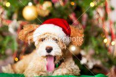 Christmas Puppy Yawning Royalty Free Stock Photo