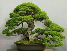 bonsai tree  Bonsai ♣️Fosterginger.Pinterest.ComMore Pins Like This One At FOSTERGINGER @ PINTEREST No Pin Limitsでこのようなピンがいっぱいになるピンの限界