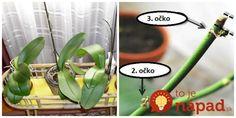 Rada, ako vždy prinútim moje orchidey zakvitnúť: Keď si všimnete toto, môžete ju začať prebúdzať, zlepšovák, ktorého sa držím už roky! Potted Plants, Indoor Plants, Terrarium, House Plants, Flower Pots, Flora, Home And Garden, Diy Crafts, Gardening