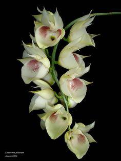 Catasetum Pileatum Exotic Flowers, Green Flowers, Amazing Flowers, Pretty Flowers, Orchid Flowers, Growing Orchids, Orchidaceae, Floral Photography, Cactus