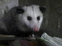 Our 9-month-old opossum