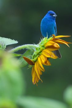 Indigo Bunting (by Jonathan Bobbe) #Bunting #Birds #Sunflowers #Nature #wildlife #Blue #Green #Yellow #Color #Contrast