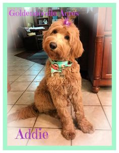 Check out our list of all upcoming Goldendoodle litters and Double Doodle litters below. Please fill out the puppy application and we will contact you. Toy Goldendoodle, Double Doodle, Doodles, Puppies, Toys, Breads, Animals, Activity Toys, Bread Rolls