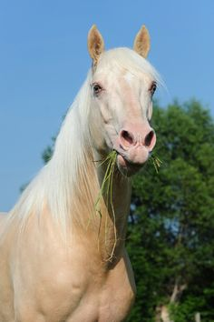 Cremello Horse  I'll take one thank you