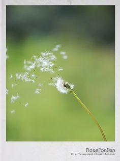 RosePonpon   たんぽぽ畑で綿毛を飛ばそう。