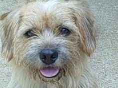 NJ - Buffy is an adoptable Norfolk Terrier Dog in Lincroft, NJ. MEET BUFFY - - AVAILABLE to FEMALE ONLY, QUIET HOME, FENCED YARD, DOES NOT WALK ON LEASH - - VERY SWEET BUT SHY - - CENTRAL NJ ONLY NEED...