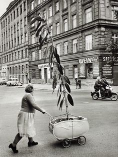 EXHIBITION: SOUNDS OF VIENNA - 100 YEARS FRANZ HUBMANN at Leica Gallery Vienna and Leica Gallery Salzburg / More info here: http://blog.burnedshoes.com/post/99129020431 ------ PHOTO: © Franz Hubmann, 1954, Unusual plant transport in Vienna-Döbling