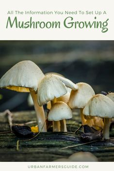 All The Information You Need To Set Up A Mushroom Growing Operation Edible Mushrooms, Stuffed Mushrooms, Growing Mushrooms, Gardening, Stuff Mushrooms, Lawn And Garden, Horticulture