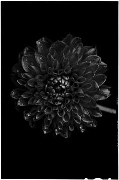 Bettina Güber - Black to Black Flowers – Fubiz™ Back To Black, All Black, Black And White, World Of Color, Color Of Life, Floral Photography, Nature Photography, Black Flowers, Pretty Cool