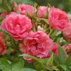 Top Quality Roses Pink Grootendorst Over 270 Varieties of Roses