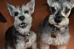 My Princess and my Little Angel | A community of Schnauzer lovers!