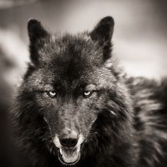 Fierce big bad wolf