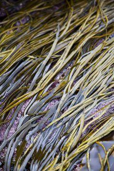 sea spaghette, sea weed foraging in Ireland via Donal Skehan