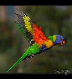 Rainbow Lorikeet in flight. Got to feed these birds and have them land all over me at Rooster Cogburn's north of Tucson, AZ. It was AWESOME! Tropical Birds, Exotic Birds, Colorful Birds, Australian Parrots, Bird Barn, Barn Owls, Parrot Bird, Bird Pictures, Parakeet