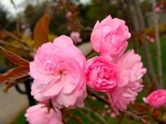 kwazan flowering cherry tree | Bloom from a Kwanzan Cherry Tree