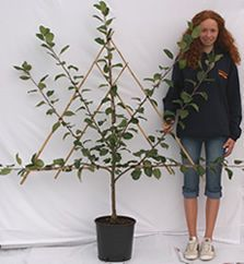 Fantrained Mailorder Espalier Potgrown Cherry Apple Trees Fruit Pear Plum Sale Year And For Potted Fruit Trees Espalier Fruit Trees Potted Trees