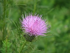 Thistle Flower - Norris Dam, TN