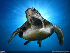 Rays of sun surround a green turtle: http://on.natgeo.com/1ypnFNU (via National Geographic on Twitter)