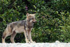 Awww, bebe wolfies!