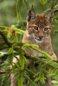 Bébé lynx dans son sapin